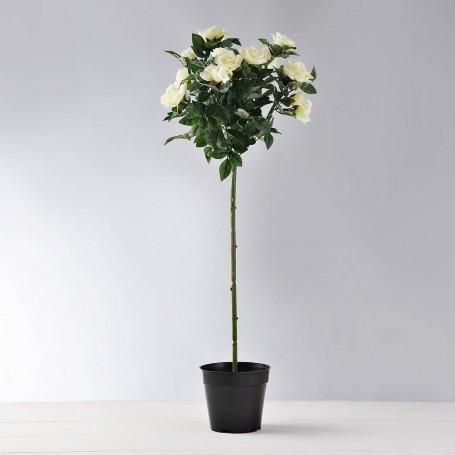 Planta Rosas Mini con maceta Haus