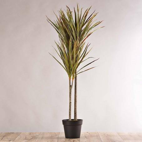 Planta Dracaena con maceta negra Haus