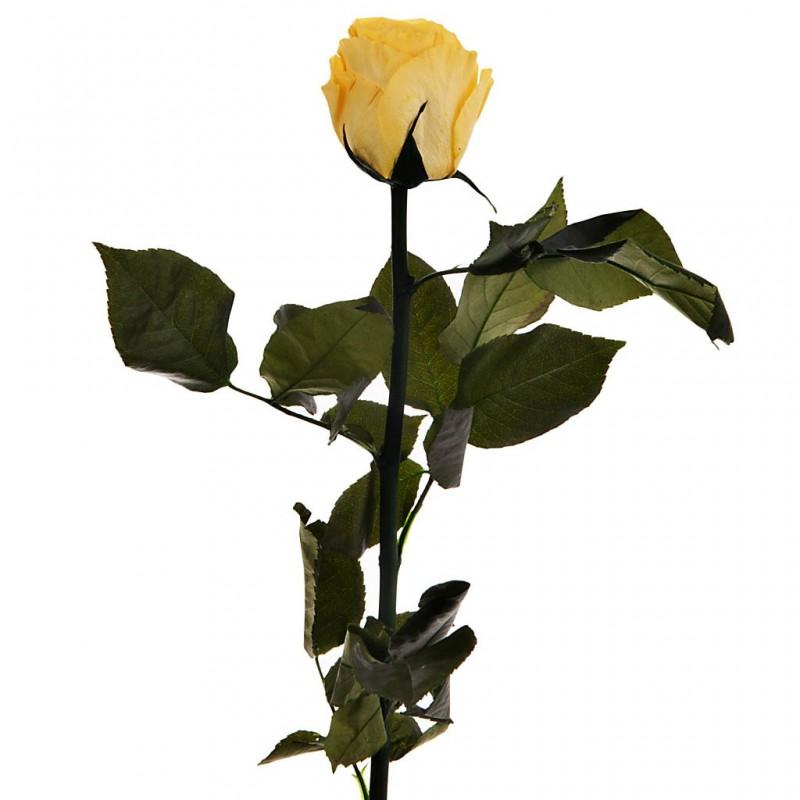 Rosa inmortalizada Lasting